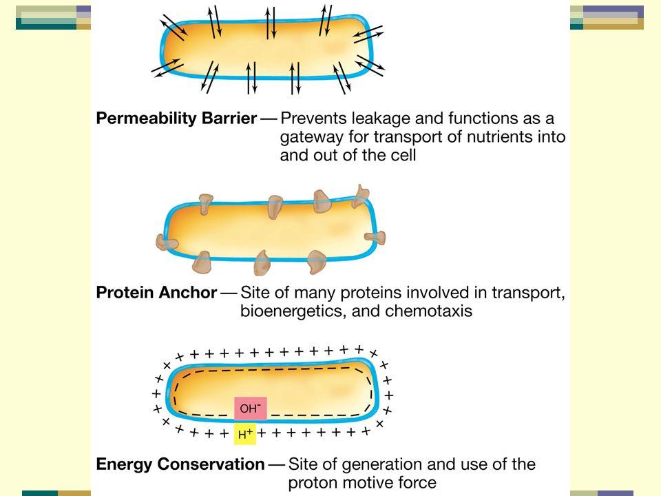 Ilustración de algunos de los papeles de la membrana citoplásmica bacteriana
