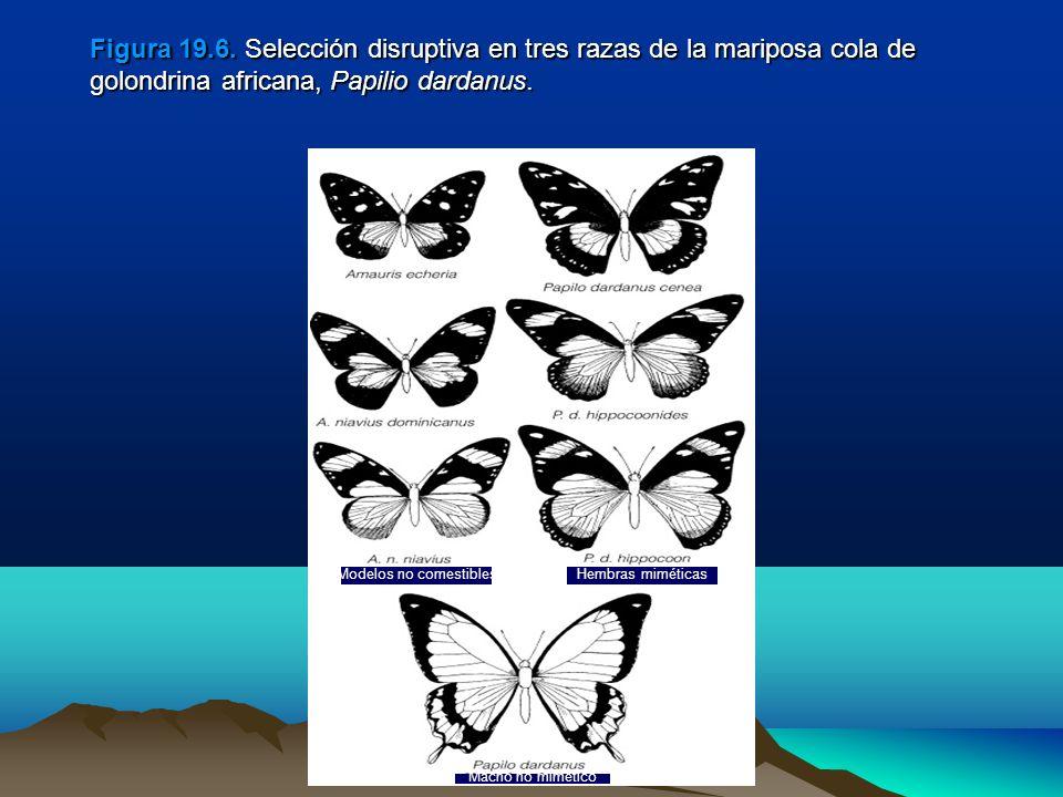 Figura 19.6. Selección disruptiva en tres razas de la mariposa cola de golondrina africana, Papilio dardanus.