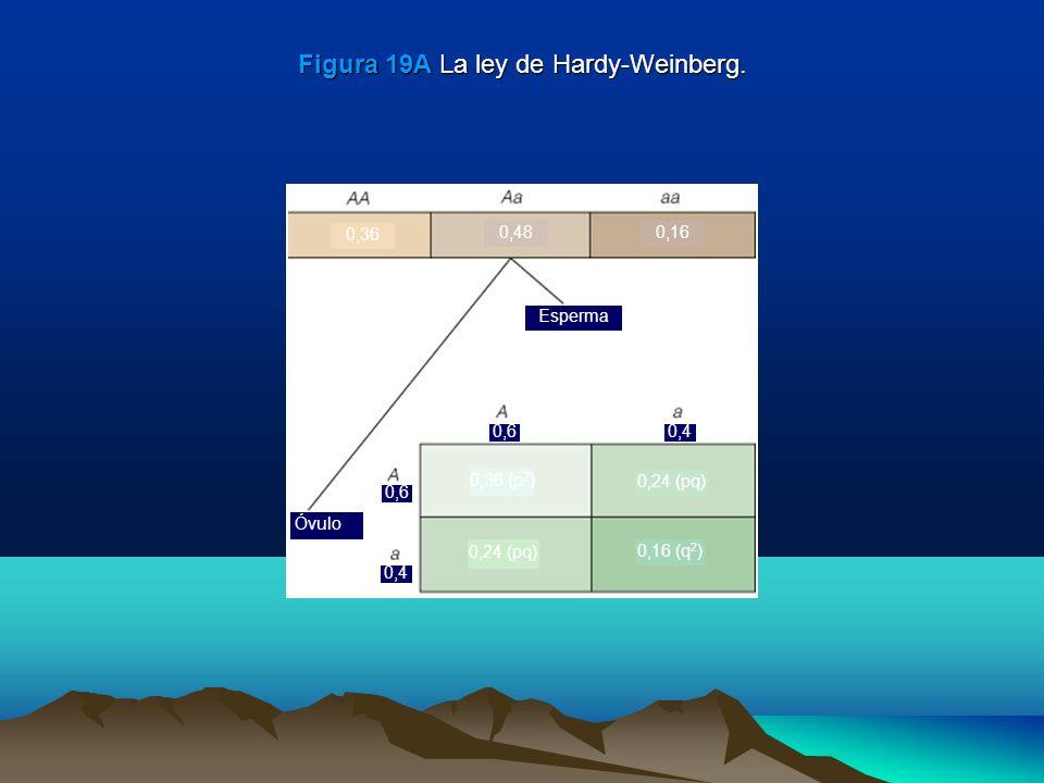 Figura 19A La ley de Hardy-Weinberg.