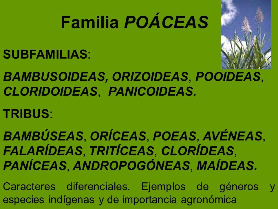Familia POÁCEAS SUBFAMILIAS: