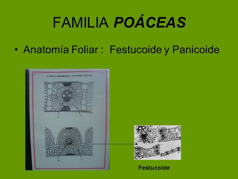 FAMILIA POÁCEAS Anatomía Foliar : Festucoide y Panicoide Festucoide