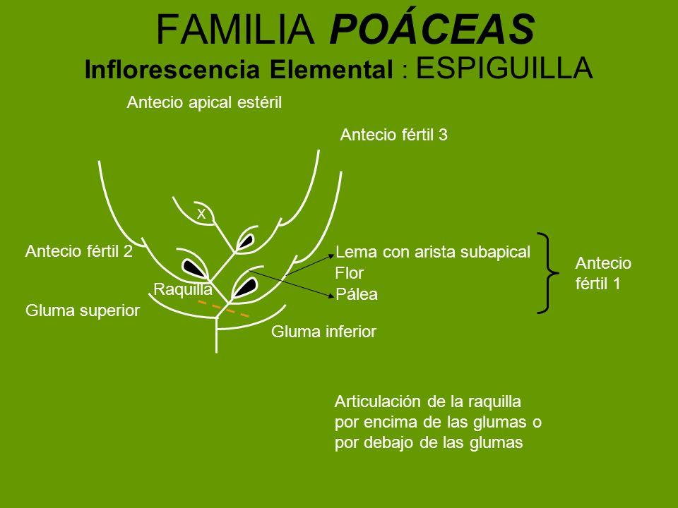 FAMILIA POÁCEAS Inflorescencia Elemental : ESPIGUILLA