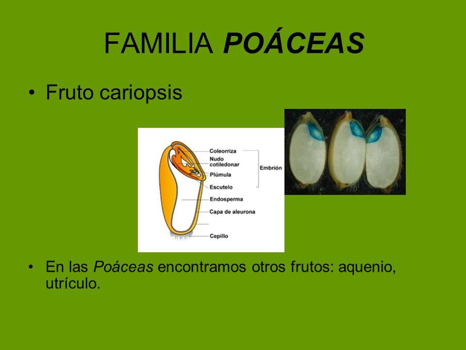FAMILIA POÁCEAS Fruto cariopsis