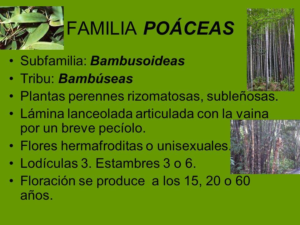 FAMILIA POÁCEAS Subfamilia: Bambusoideas Tribu: Bambúseas