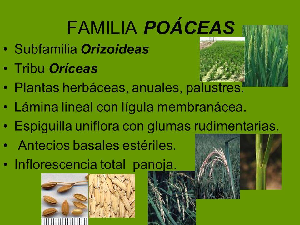 FAMILIA POÁCEAS Subfamilia Orizoideas Tribu Oríceas