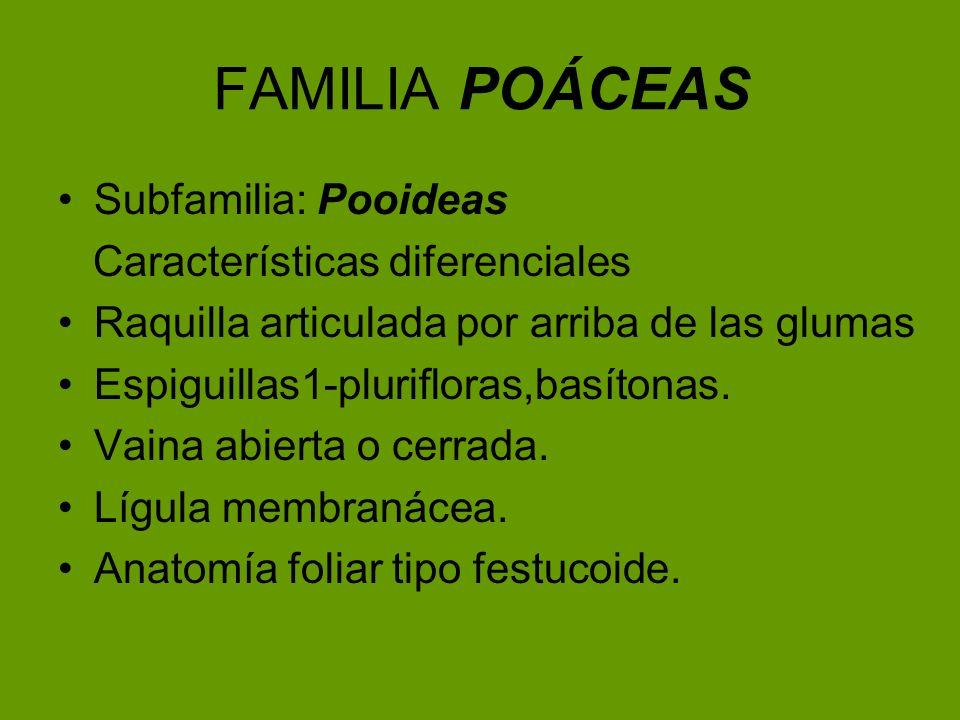 FAMILIA POÁCEAS Subfamilia: Pooideas Características diferenciales