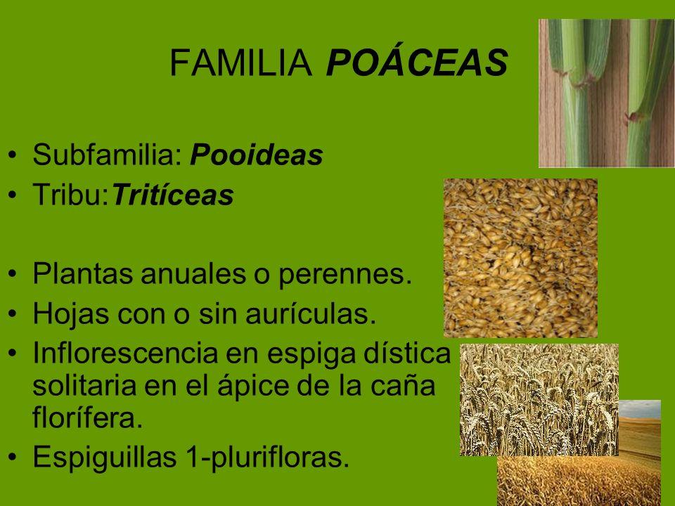 FAMILIA POÁCEAS Subfamilia: Pooideas Tribu:Tritíceas