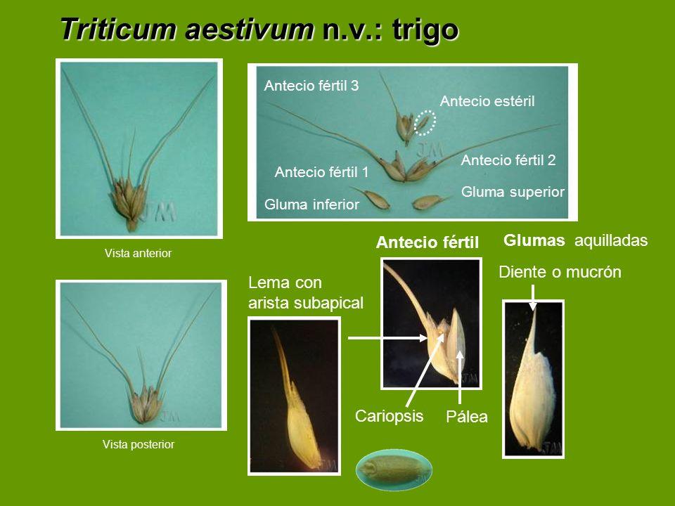 Triticum aestivum n.v.: trigo