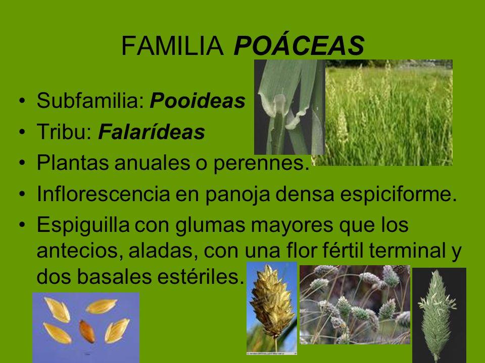 FAMILIA POÁCEAS Subfamilia: Pooideas Tribu: Falarídeas