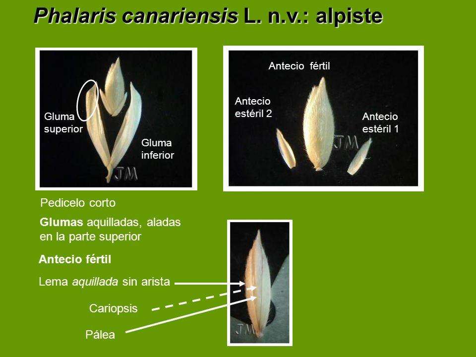 Phalaris canariensis L. n.v.: alpiste