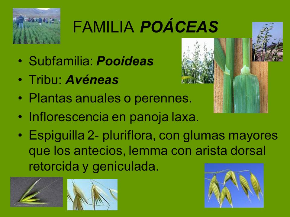 FAMILIA POÁCEAS Subfamilia: Pooideas Tribu: Avéneas