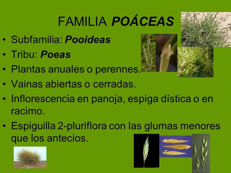 FAMILIA POÁCEAS Subfamilia: Pooideas Tribu: Poeas