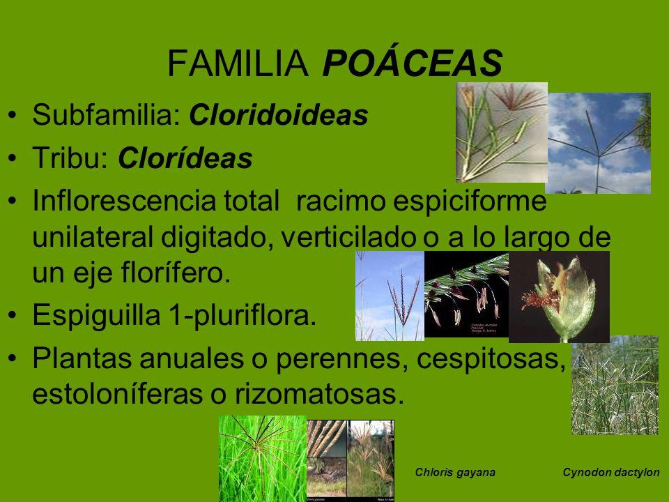 FAMILIA POÁCEAS Subfamilia: Cloridoideas Tribu: Clorídeas