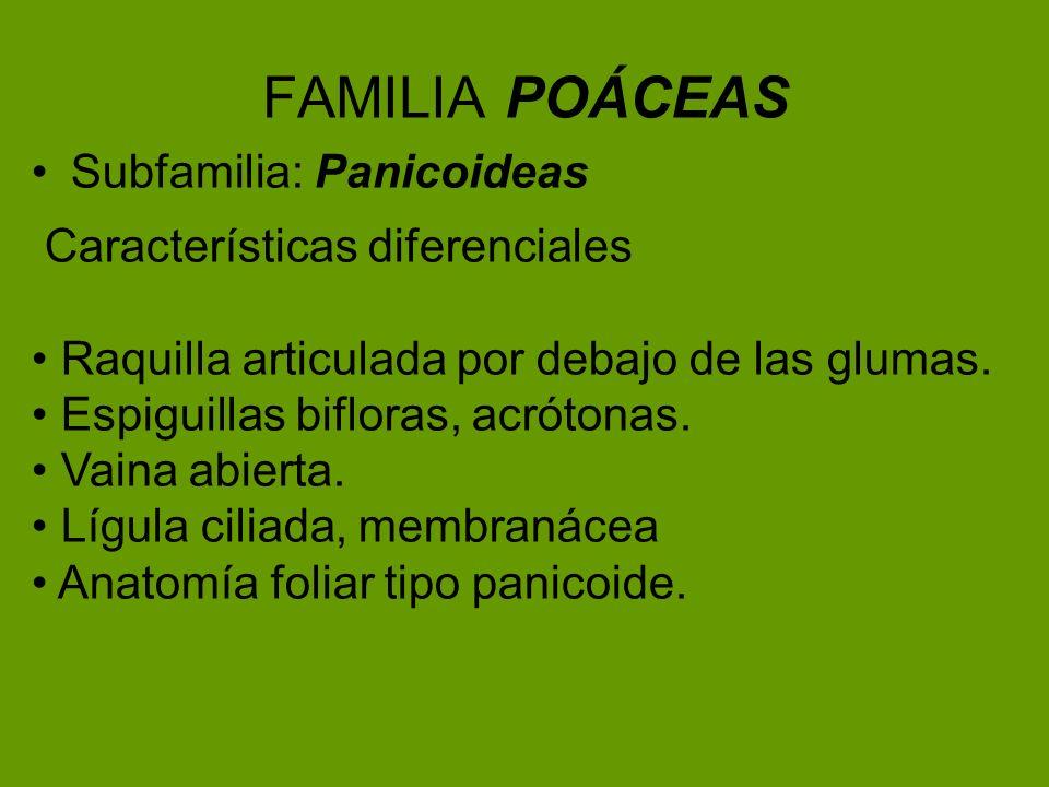 FAMILIA POÁCEAS Subfamilia: Panicoideas Características diferenciales