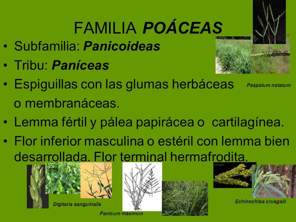 FAMILIA POÁCEAS Subfamilia: Panicoideas Tribu: Paníceas