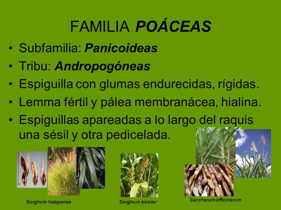 FAMILIA POÁCEAS Subfamilia: Panicoideas Tribu: Andropogóneas