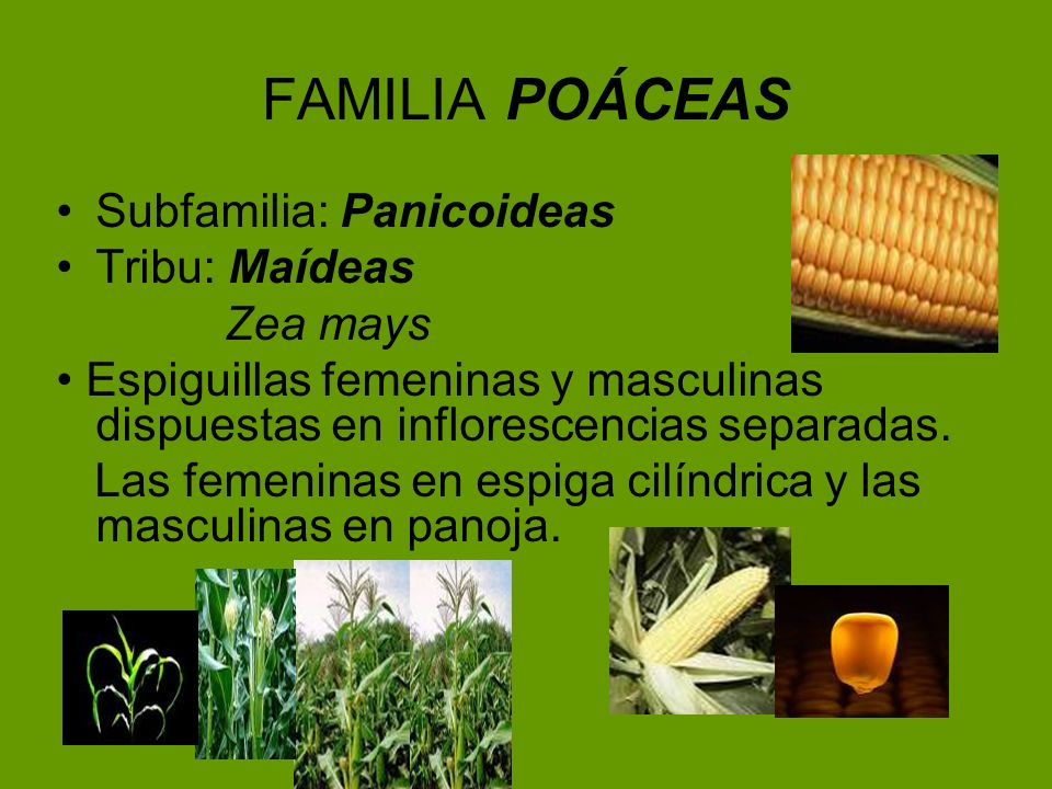 FAMILIA POÁCEAS Subfamilia: Panicoideas Tribu: Maídeas Zea mays