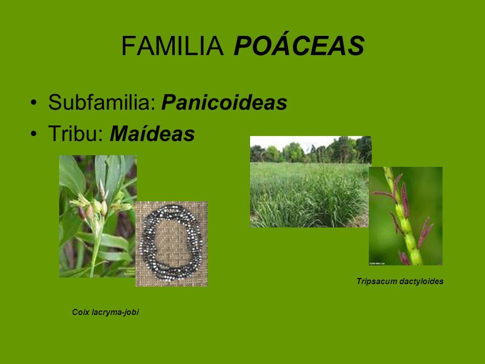 FAMILIA POÁCEAS Subfamilia: Panicoideas Tribu: Maídeas