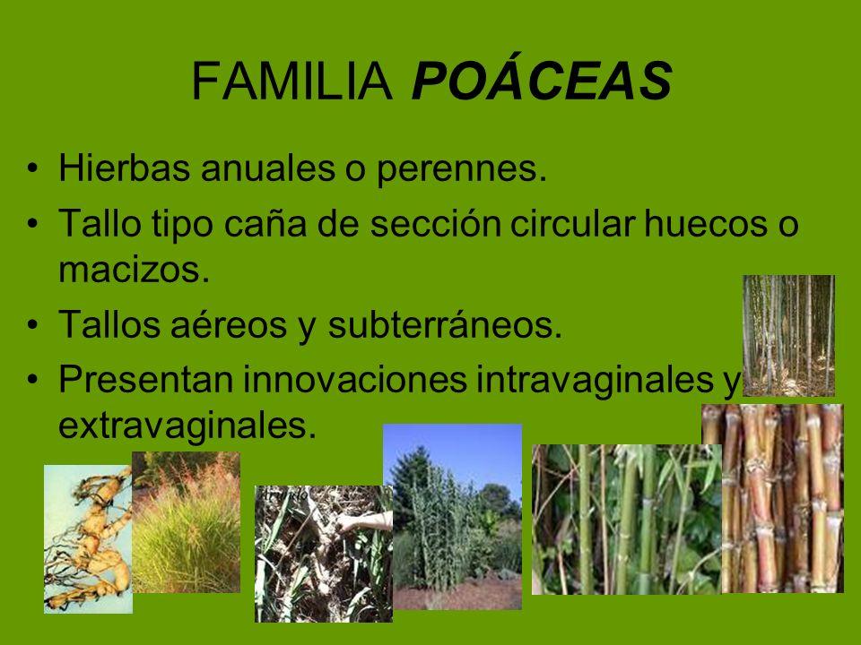 FAMILIA POÁCEAS Hierbas anuales o perennes.