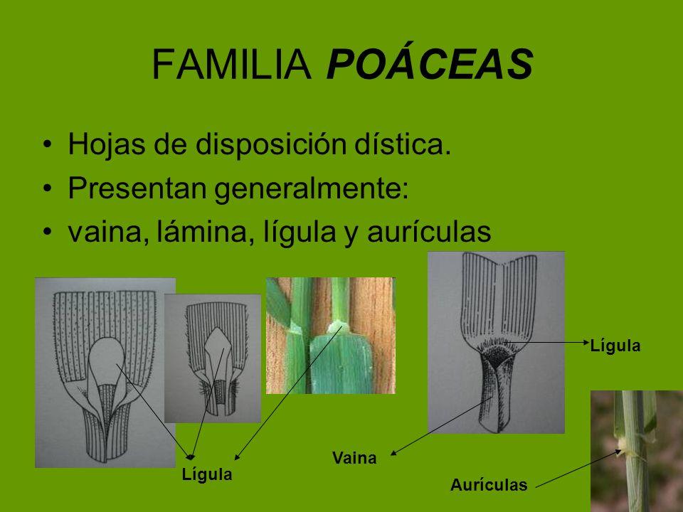 FAMILIA POÁCEAS Hojas de disposición dística. Presentan generalmente: