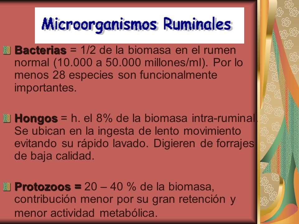 Bacterias = 1/2 de la biomasa en el rumen normal (10. 000 a 50