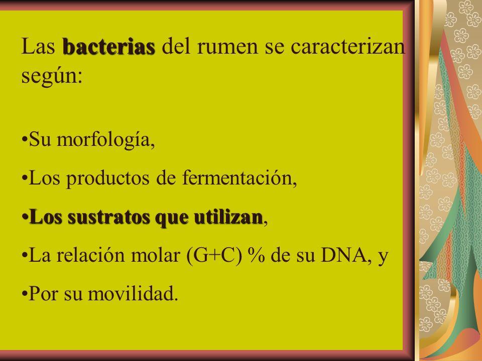 Las bacterias del rumen se caracterizan según: