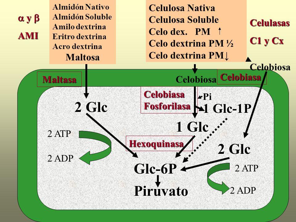 2 Glc 1 Glc 2 Glc Glc-6P Piruvato 1 Glc-1P Maltosa Celulosa Nativa