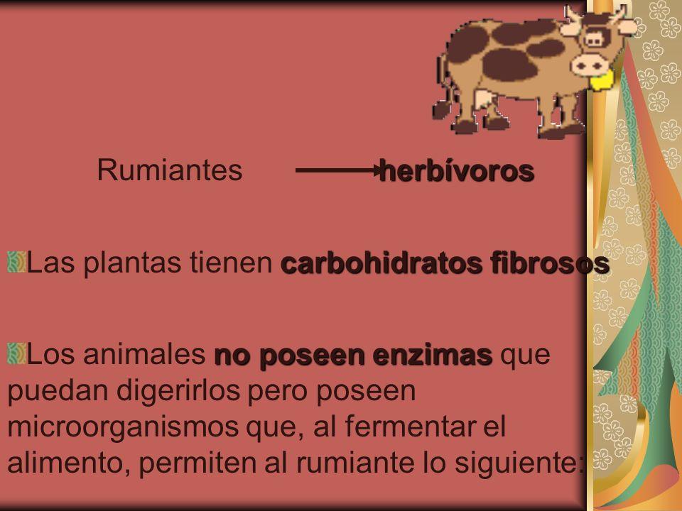 Rumiantes herbívoros Las plantas tienen carbohidratos fibrosos.