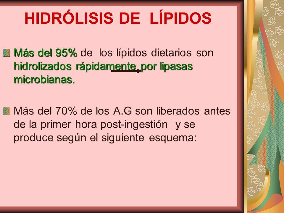 HIDRÓLISIS DE LÍPIDOS Más del 95% de los lípidos dietarios son hidrolizados rápidamente por lipasas microbianas.