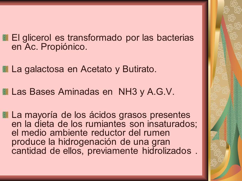 El glicerol es transformado por las bacterias en Ac. Propiónico.
