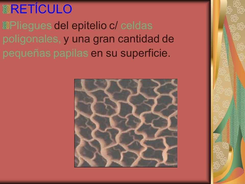 RETÍCULO Pliegues del epitelio c/ celdas poligonales, y una gran cantidad de pequeñas papilas en su superficie.