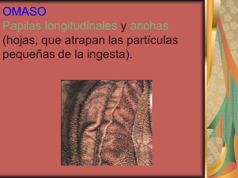 OMASO Papilas longitudinales y anchas (hojas, que atrapan las partículas pequeñas de la ingesta).