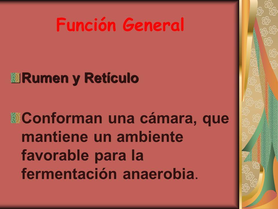 Función General Rumen y Retículo.