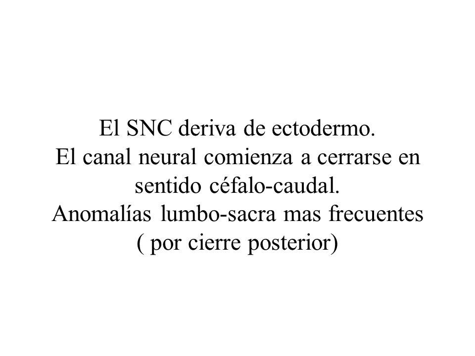 El SNC deriva de ectodermo