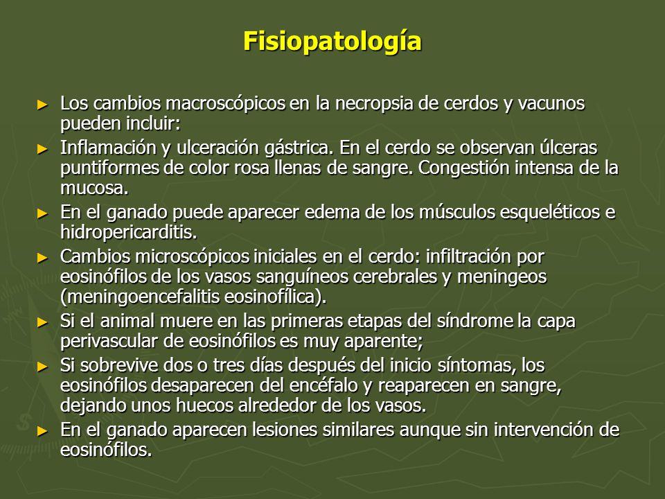 Fisiopatología Los cambios macroscópicos en la necropsia de cerdos y vacunos pueden incluir: