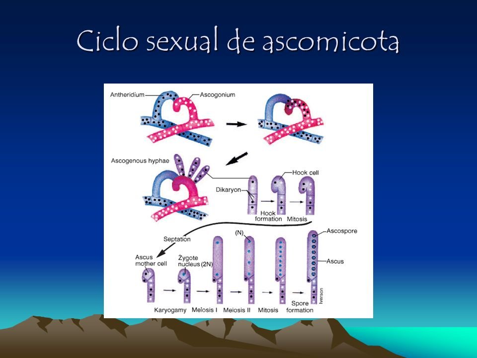 Ciclo sexual de ascomicota