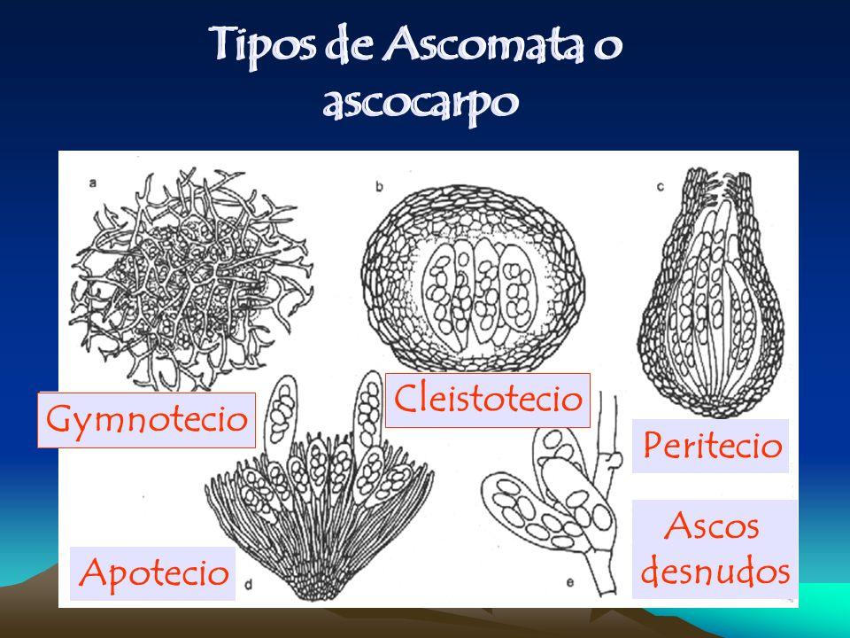Tipos de Ascomata o ascocarpo