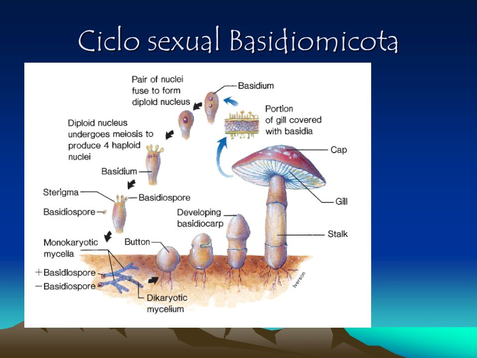 Ciclo sexual Basidiomicota