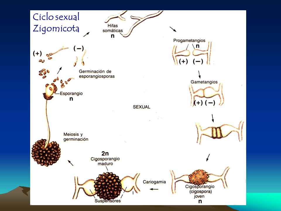 Ciclo sexual Zigomicota