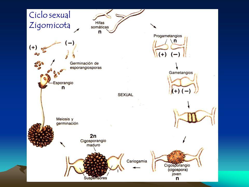 Ciclo sexual Zigomicota