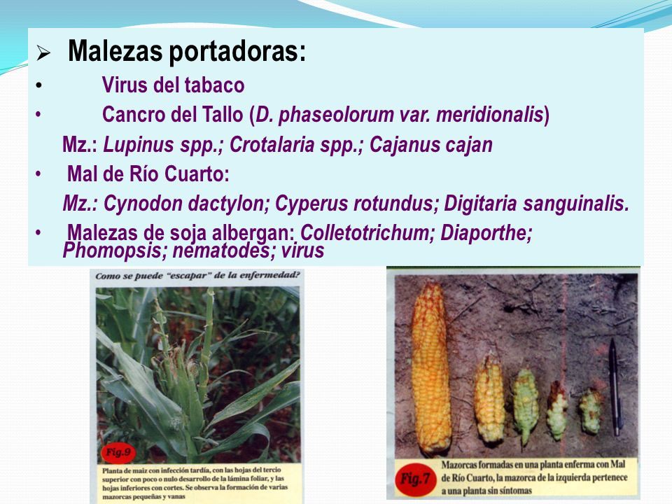Malezas portadoras: Virus del tabaco. Cancro del Tallo (D. phaseolorum var. meridionalis) Mz.: Lupinus spp.; Crotalaria spp.; Cajanus cajan.