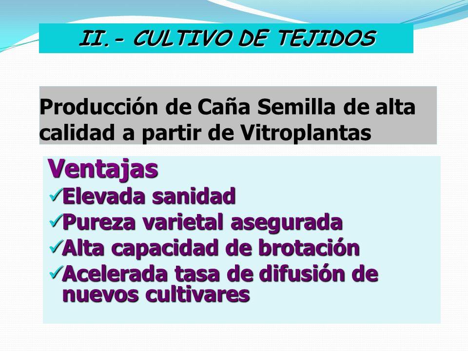 Producción de Caña Semilla de alta calidad a partir de Vitroplantas