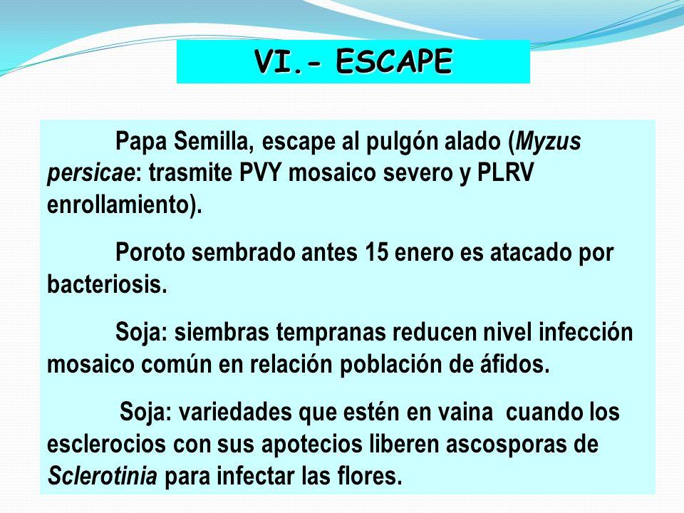 VI.- ESCAPE Poroto sembrado antes 15 enero es atacado por bacteriosis.