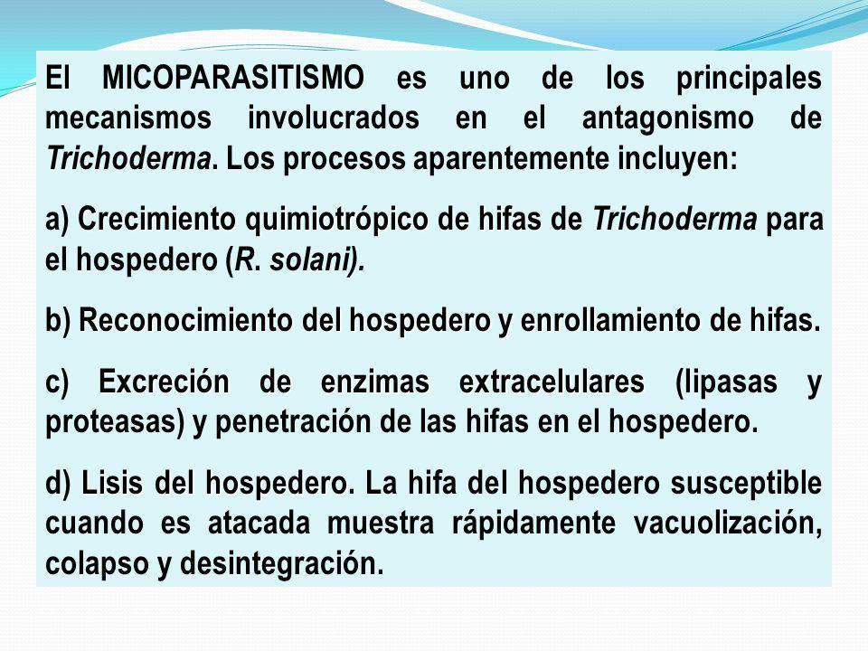 El MICOPARASITISMO es uno de los principales mecanismos involucrados en el antagonismo de Trichoderma. Los procesos aparentemente incluyen:
