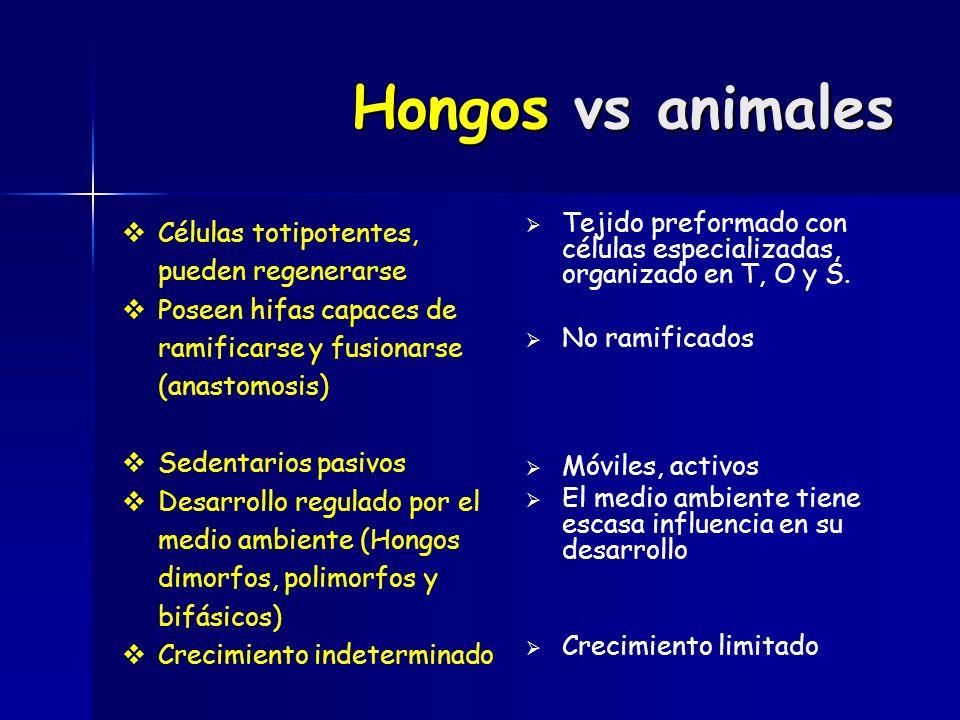 Hongos vs animales Células totipotentes, pueden regenerarse