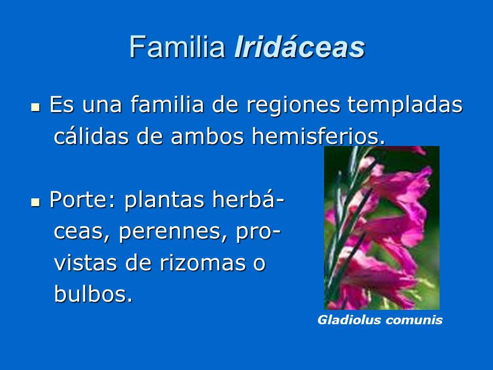 Familia Iridáceas Es una familia de regiones templadas