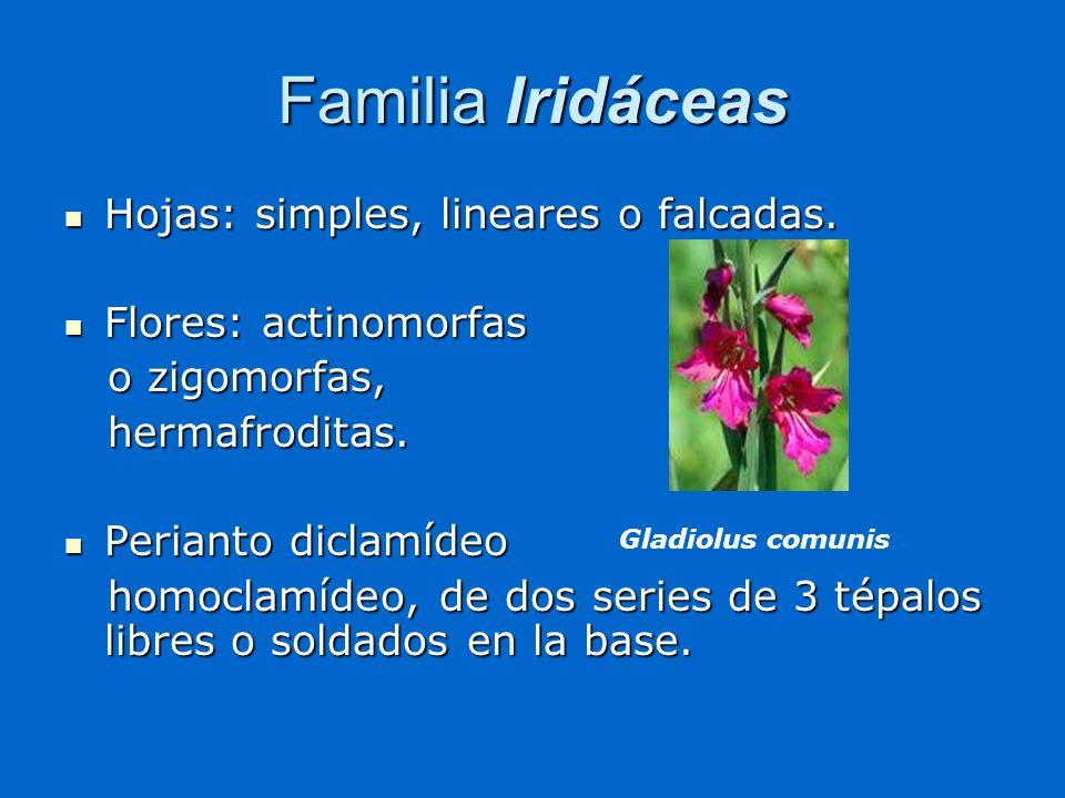Familia Iridáceas Hojas: simples, lineares o falcadas.