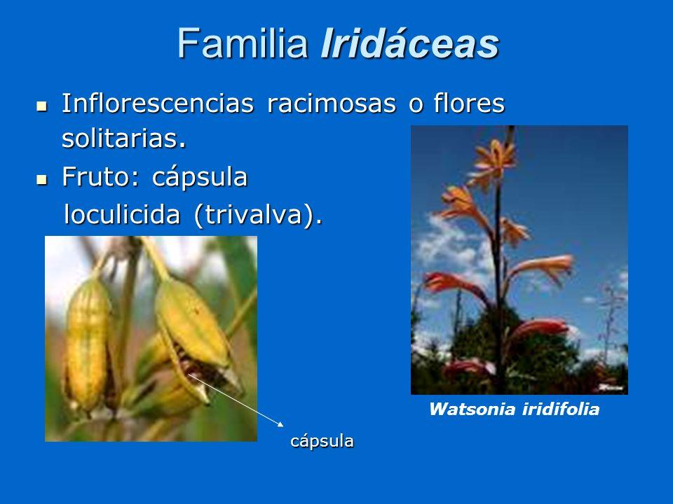 Familia Iridáceas Inflorescencias racimosas o flores solitarias.