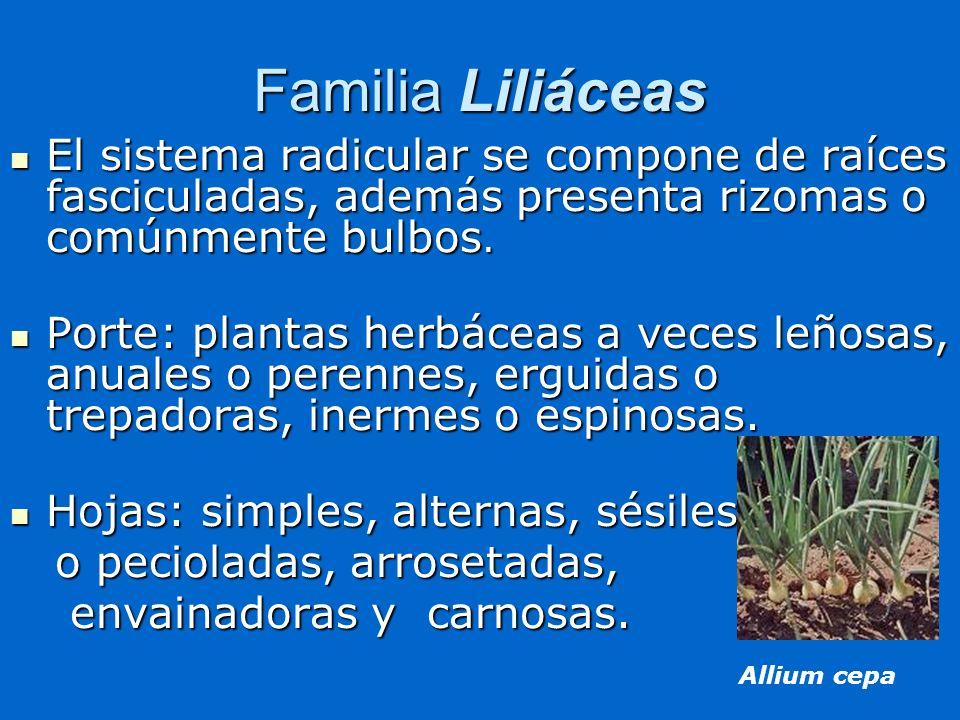 Familia Liliáceas El sistema radicular se compone de raíces fasciculadas, además presenta rizomas o comúnmente bulbos.