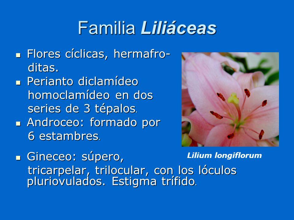 Familia Liliáceas Flores cíclicas, hermafro- ditas.